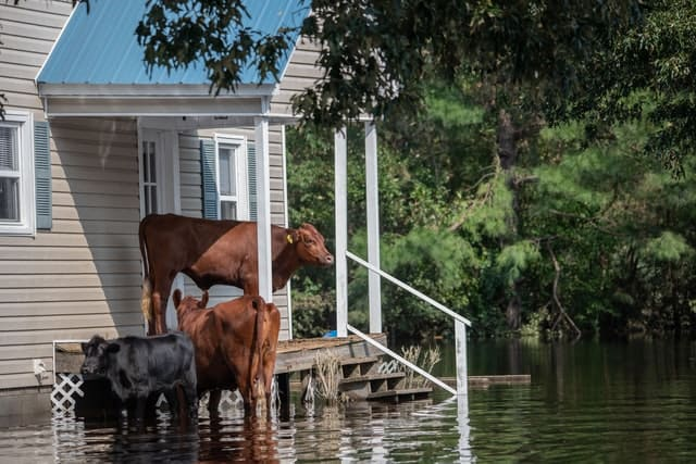 cow standing on porch during a flood